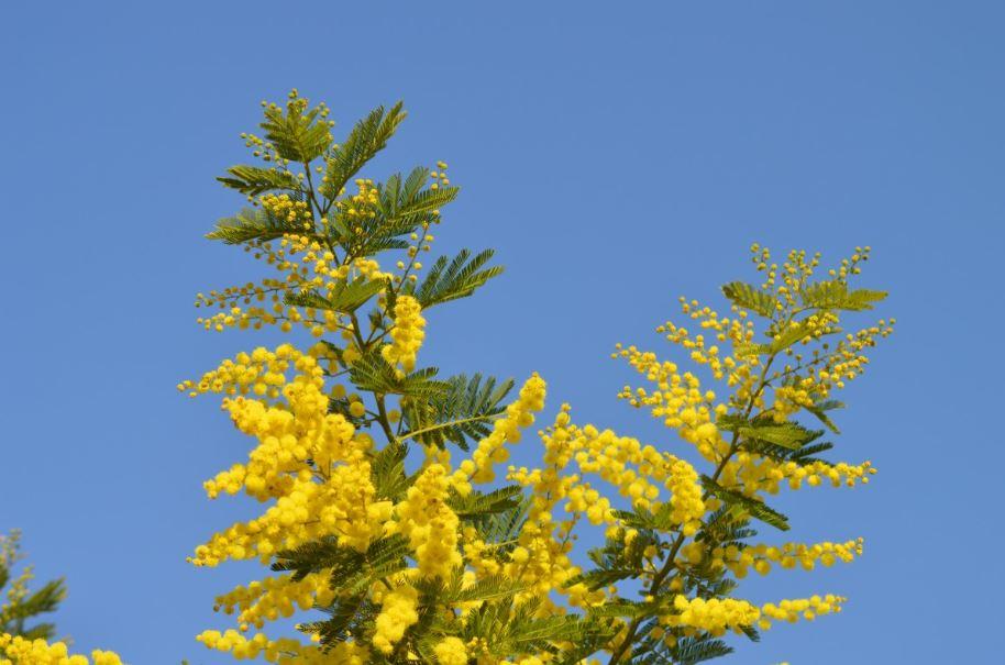 visiter l'île d'Yeu hors saison - Mimosa en fleur en février